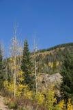 Nearly Bare Autumn Aspens Stock Photos