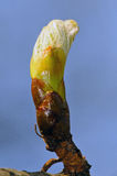 Nearly open burgeon of horse-chestnut Stock Photos