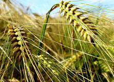 Nearly ripe. Barley short time before the harvest Royalty Free Stock Photo