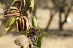 Nearly ripe almonds Stock Photography