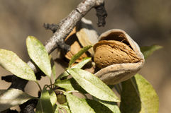 Nearly ripe almonds Stock Photos