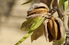 Nearly ripe almonds Royalty Free Stock Images