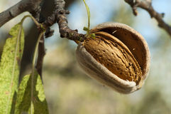 Nearly ripe almonds Royalty Free Stock Photos