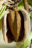 Nearly ripe almonds Stock Image