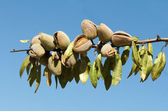 Nearly ripe almonds Royalty Free Stock Photography
