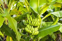 Ripening banana fruits on banana tree. Nearly ripe bananas on a banana tree in Barbedos, Caribbean royalty free stock photography