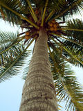 Nearly Ripe Coconuts. (focus on trunk stock photo