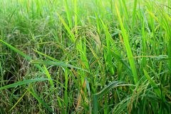 Nearly ripe rice plants in the paddy field in the central region of Thailand. Beauty in nature abundance agriculture asia background banner bright closeup royalty free stock photos