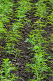 Neat bed of young plants in the black soil Stock Image