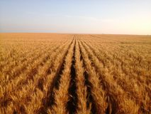 Rows of ripe wheat Stock Photo