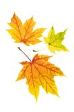Neat colorful autumn leaves Royalty Free Stock Image
