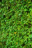 Neat hedge, leaves closeup Royalty Free Stock Image