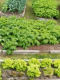 Raised beds of various vegetable plants potatoes Royalty Free Stock Photo