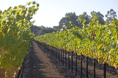 Neat Rows. Grape vines in a precise row Stock Photography