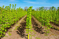Neat Rows. Of Young Plants in the Nursery Garden Royalty Free Stock Photography