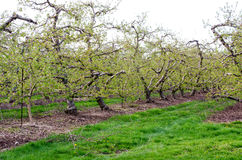 Neat rows of apple trees Royalty Free Stock Image