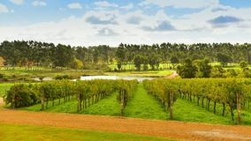 Neat rows of grape-bearing vines in a vineyard Stock Photos
