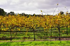 Neat rows of grape-bearing vines in a vineyard Stock Photography