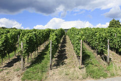 Neat Rows of Grape Vines. Neat rows of German grape vines Royalty Free Stock Image