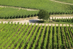 Neat Rows of Grape Vines. In the German Rhineland Royalty Free Stock Photography