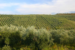 Neat rows of grapes with olive. Neat rows of grapes in criss cross pattern with olive trees in the front Stock Photography