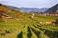 Wachau Valley at autumn. Neat rows of grapevines curtain the terraced hills throughout the Wachau Valley at autumn, Austria Royalty Free Stock Image