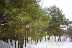 Neat rows of green pines. Winter forest landscape. White snow. The silence of the forest. Royalty Free Stock Image