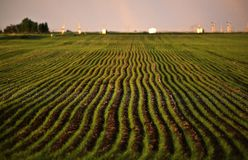 Neat rows of new growing grain Stock Image