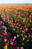 Neat Rows Tulips Colorful Flower Petals Farmer's Bulb Farm Stock Photos