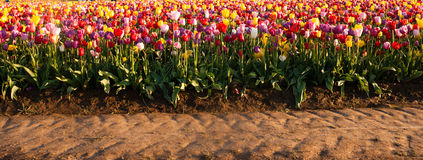 Neat Rows Tulips Colorful Flowers Farmer's Bulb Farm Royalty Free Stock Photo