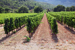 Neat Rows of Vine Stock Images