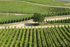 Neat Rows of Vines at German Vineyard Stock Image
