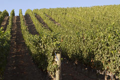 Neat Rows in a Vineyard Stock Image