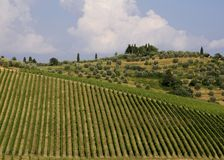 Neat Tuscany vineyard. Neat rows of vines in a Tuscan vineyard with olive trees in the background Royalty Free Stock Image