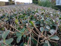 Trimmed Hedge. The neatly trimmed hedgerow in a garden in springtime Royalty Free Stock Photography