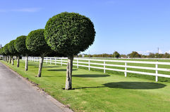 Neatly trimmed trees lining up Royalty Free Stock Image