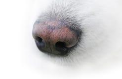 Neb of dog. The neb of samoyed dog Stock Photos