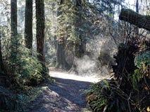 Nebbia attraverso gli alberi, parco regionale di mattina di Minnekhada, BC immagine stock