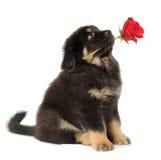 Nebbia del cucciolo con il fiore Fotografia Stock Libera da Diritti