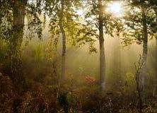 Nebbia di mattina nella foresta con i bei raggi del sole fotografia stock