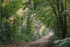 Nebbia di Sun in foresta Fotografia Stock