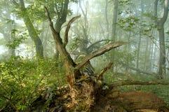 Nebbia in foresta immagini stock