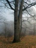 Nebbia in foresta scura immagine stock