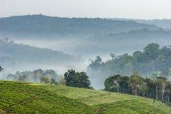 Nebbia grigia di mattina sopra le piantagioni di tè Bwindi Immagini Stock