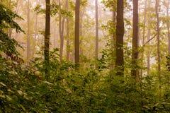 Nebbia nel legno di mattina Mattina nel legno durante Immagini Stock