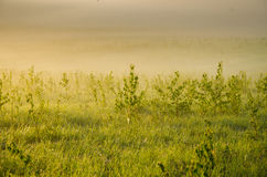 nebbia spessa di mattina nella foresta di estate Fotografia Stock