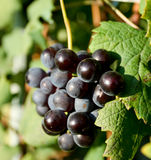 Nebbiolo grapes for Barolo. Grapes of Nebbiolo for the production of Barolo Stock Image