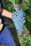 Nebbiolo-Traubenernte Stockbilder