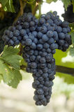 Nebbiolo winegrape in Australia. Italian winegrape variety Nebbiolo growing in an Australian vineyard in the Adelaide Hills of South Australia royalty free stock image