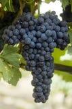 Nebbiolo winegrape in Australien Lizenzfreies Stockbild